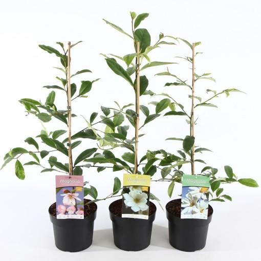 Magnolia FAIRY MIX (Ronald Roos B.V., Boomkwekerij)