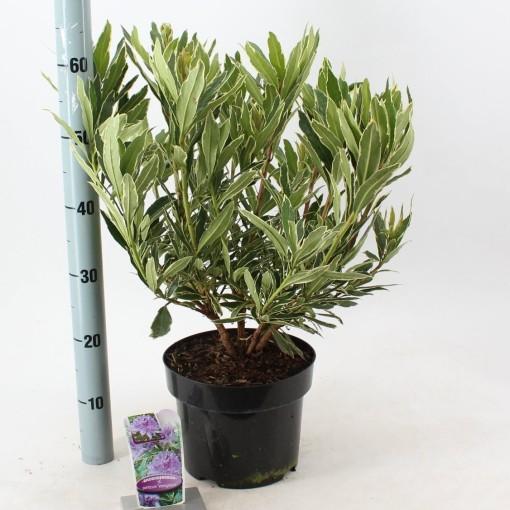 Rhododendron ponticum 'Variegatum' (About Plants Zundert BV)