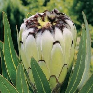 Protea neriifolia 'Cream Mink'