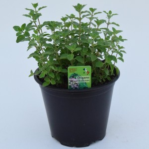 Origanum vulgare (Green Collect Sales)