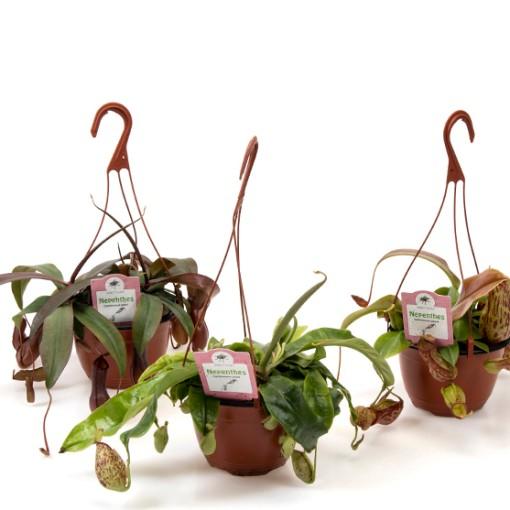 Nepenthes MIX (Gasa DK)