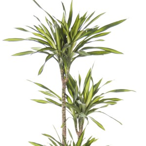 Dracaena fragrans RIKI (Ammerlaan, The Green Innovater)