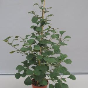 Ficus deltoidea 'Olivia'