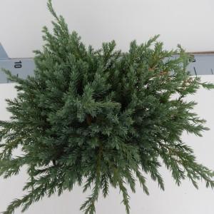 Juniperus squamata 'Blue Carpet' (De Koekoek Potcultures)