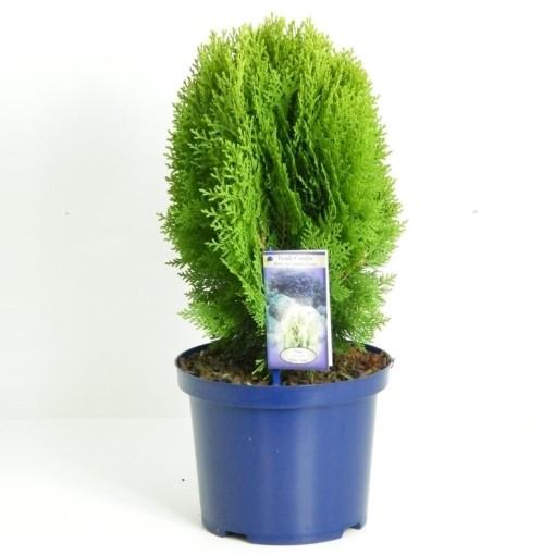 Platycladus orientalis 'Aurea Nana' (Vredebest, Kwekerij )