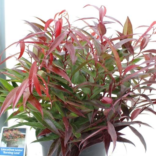 Leucothoe keiskei BURNING LOVE (About Plants Zundert BV)