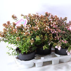 Abelia x grandiflora MIX