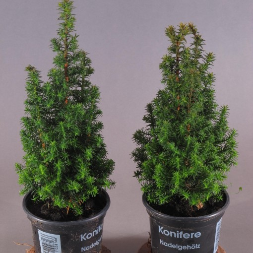 Chamaecyparis thyoides 'Top Point' (Experts in Green)