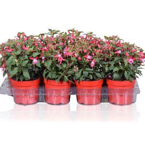 Fuchsia BELLA FUCHSIA NIKITA (Adrichem Potplanten)