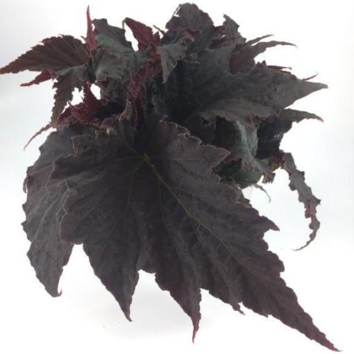 Begonia 'Royal Velour' (Gasa DK)