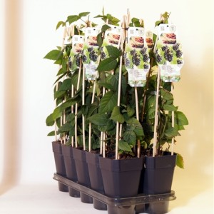 Rubus 'Thornless Boysenberry' (BOGREEN Outdoor Plants)