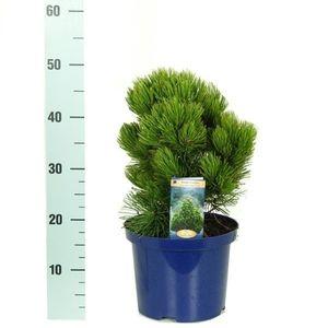 Pinus heldreichii 'Compact Gem' (Kwekerij Vredebest)