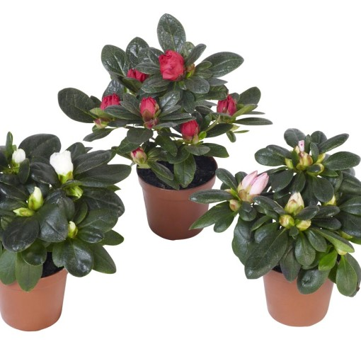 Rhododendron AZALEA MIX (Experts in Green)