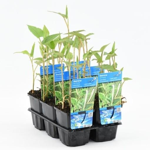 Saururus cernuus (Moerings Waterplanten)