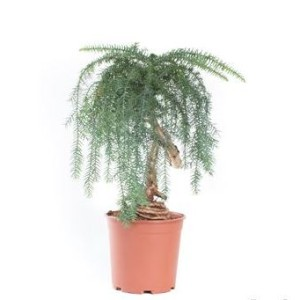 Araucaria heterophylla (Gasa DK)