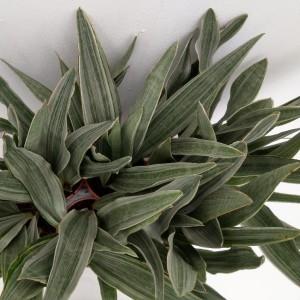 Sansevieria metallica (RuBa Baers)