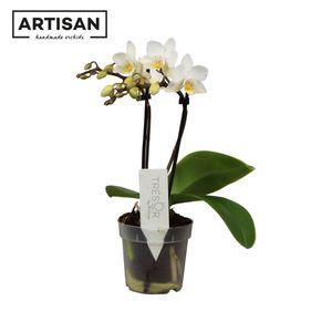 Phalaenopsis FLORICLONE SOFT CLOUD