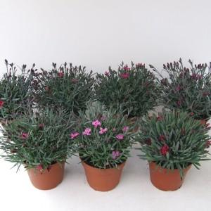 Dianthus MIX (Kwekerij Scholte)