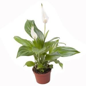 Spathiphyllum 'Cupido'