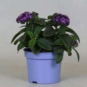 Heliotropium arborescens MARINO BLUE (Kwekerij J. de Groot BV)