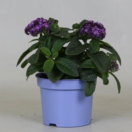 Heliotropium arborescens MARINO BLUE (Groot BV, Kwekerij J. de )