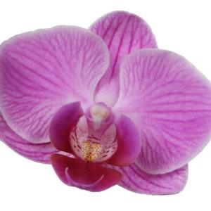Phalaenopsis ANTHURA VIENNA (Ter Laak Orchids Multiflora)