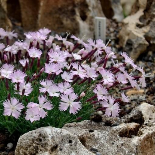 Dianthus 'Whatfield Magenta' (Leeuw-den Engelsen)
