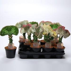 Euphorbia lactea CRISTATA MIX (Van der Arend Tropical Plantcenter)