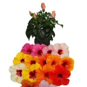 Hibiscus rosa-sinensis HIBISQS MIX (Gasa DK)