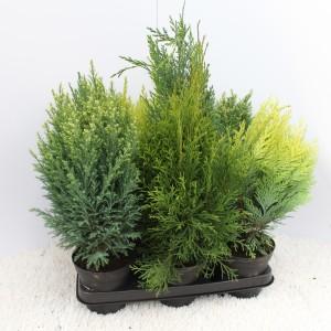 Conifers MIX