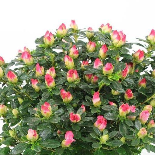 Rhododendron HORTINNO PRIMAVERA (FlorAmor)