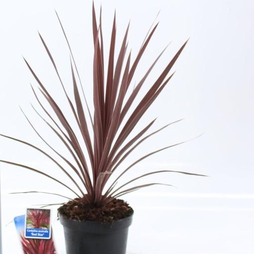 Cordyline australis 'Red Star' (About Plants Zundert BV)
