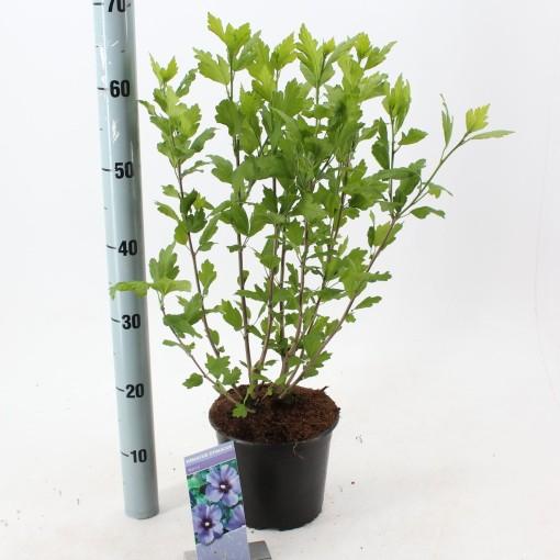 Hibiscus syriacus 'Marina' (About Plants Zundert BV)