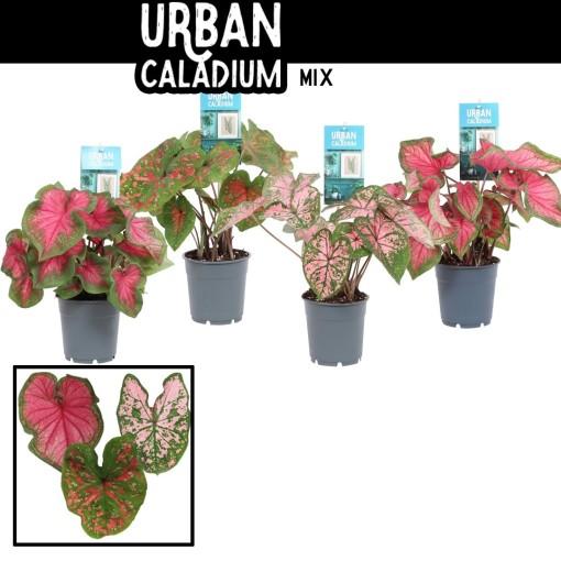 Caladium MIX (Vreugdenhil Bulbs & Plants)