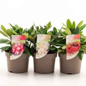 Rhododendron YAKUSHIMAMUM MIX
