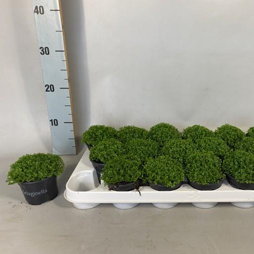 Selaginella apoda (Croon, Kwekerij de)