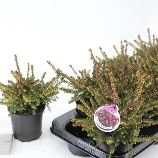 Erica x darleyensis 'Kramer's Rote' (About Plants Zundert BV)