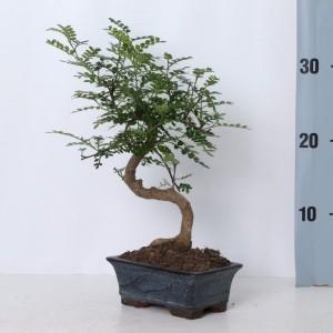 Zanthoxylum piperitum (Trendy Bonsai BV)