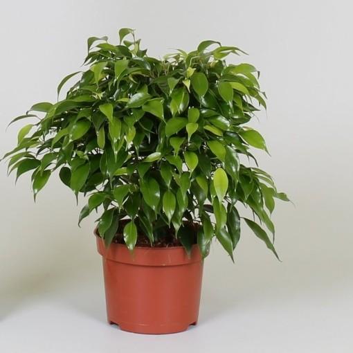Ficus benjamina 'Green Kinky' (Groot BV, Kwekerij J. de )