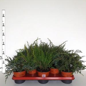 Juniperus MIX (Boomkwekerij Potcultuur Gebr. Rademaker)