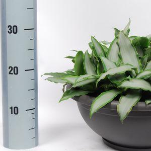 Murdannia loriformis BRIGHT STAR (Van der Arend Tropical Plantcenter)