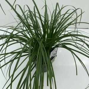 Carex oshimensis 'Evergreen' (Cammeraat Potcultuur)