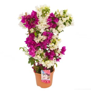 Bougainvillea MIX IN POT