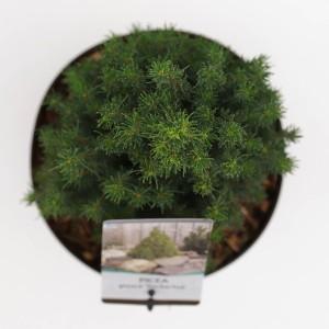 Picea glauca 'Zuckerhut' (Bremmer Boomkwekerijen)