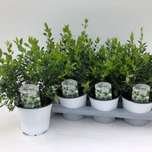 Myrtus communis (Green Collect Sales)