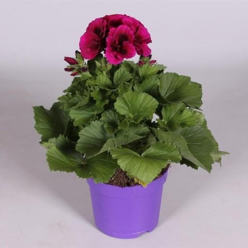Pelargonium BURGHI (Adrichem Potplanten)