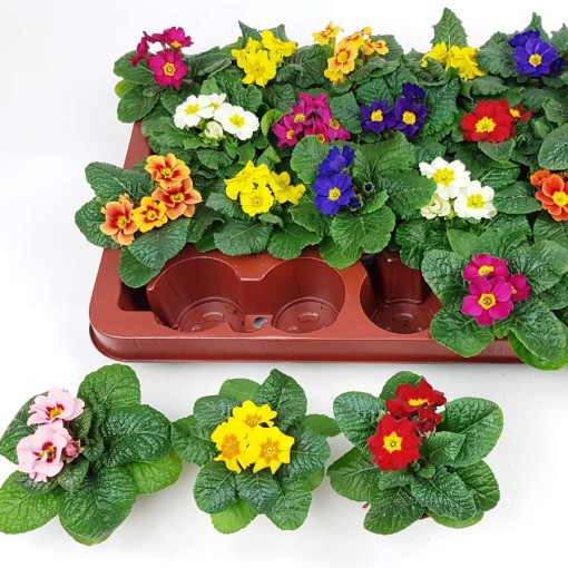 Primula vulgaris MIX (Experts in Green)
