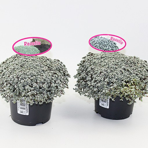 Raoulia australis (Experts in Green)