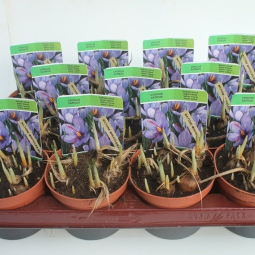 Crocus sativus (Gebr. Straathof)