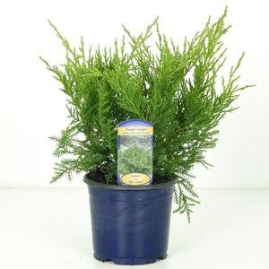 Juniperus x pfitzeriana 'Pfitzeriana Glauca'